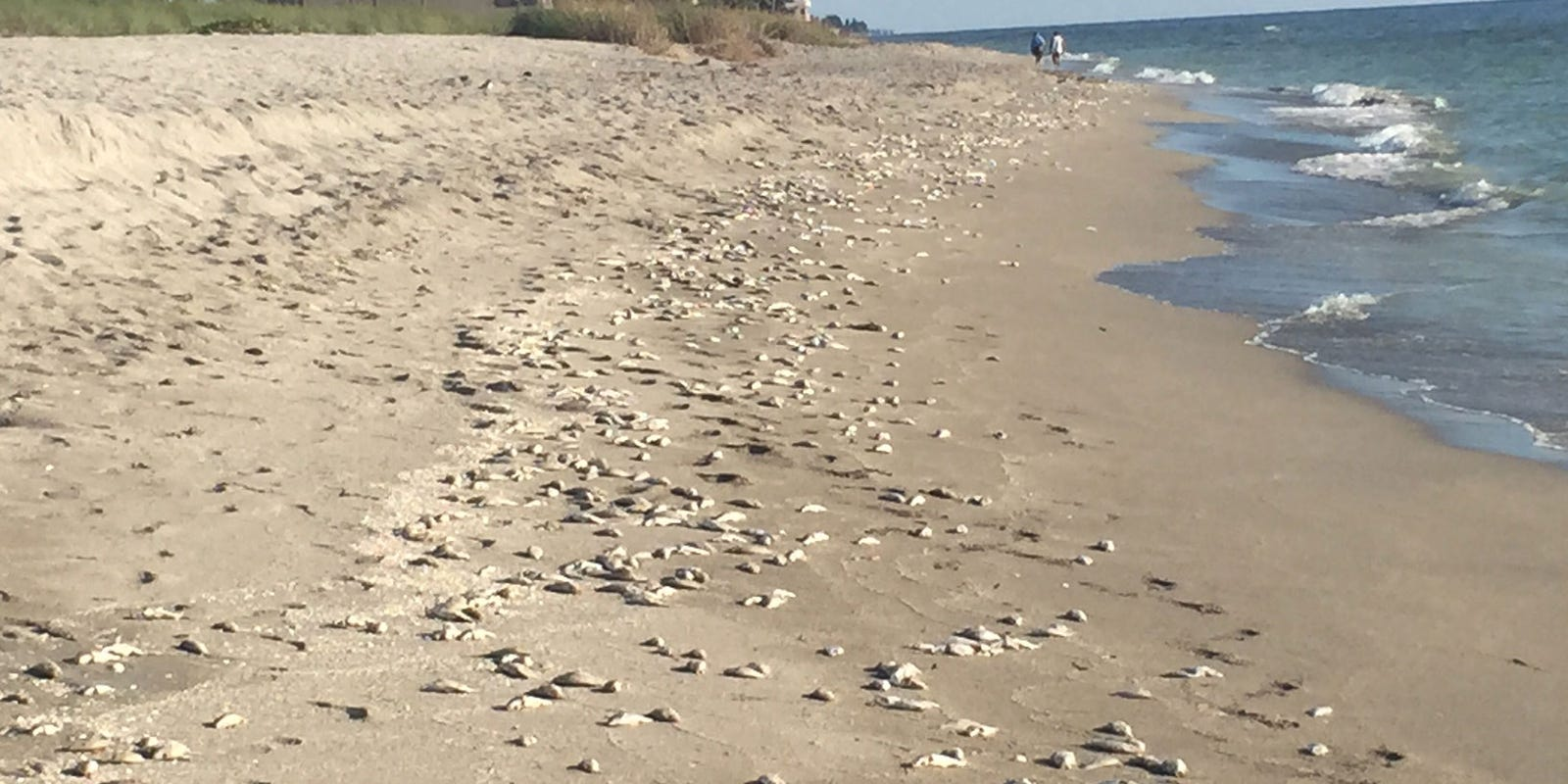 Red tide returns to some bay area beaches for Tides for fishing sarasota