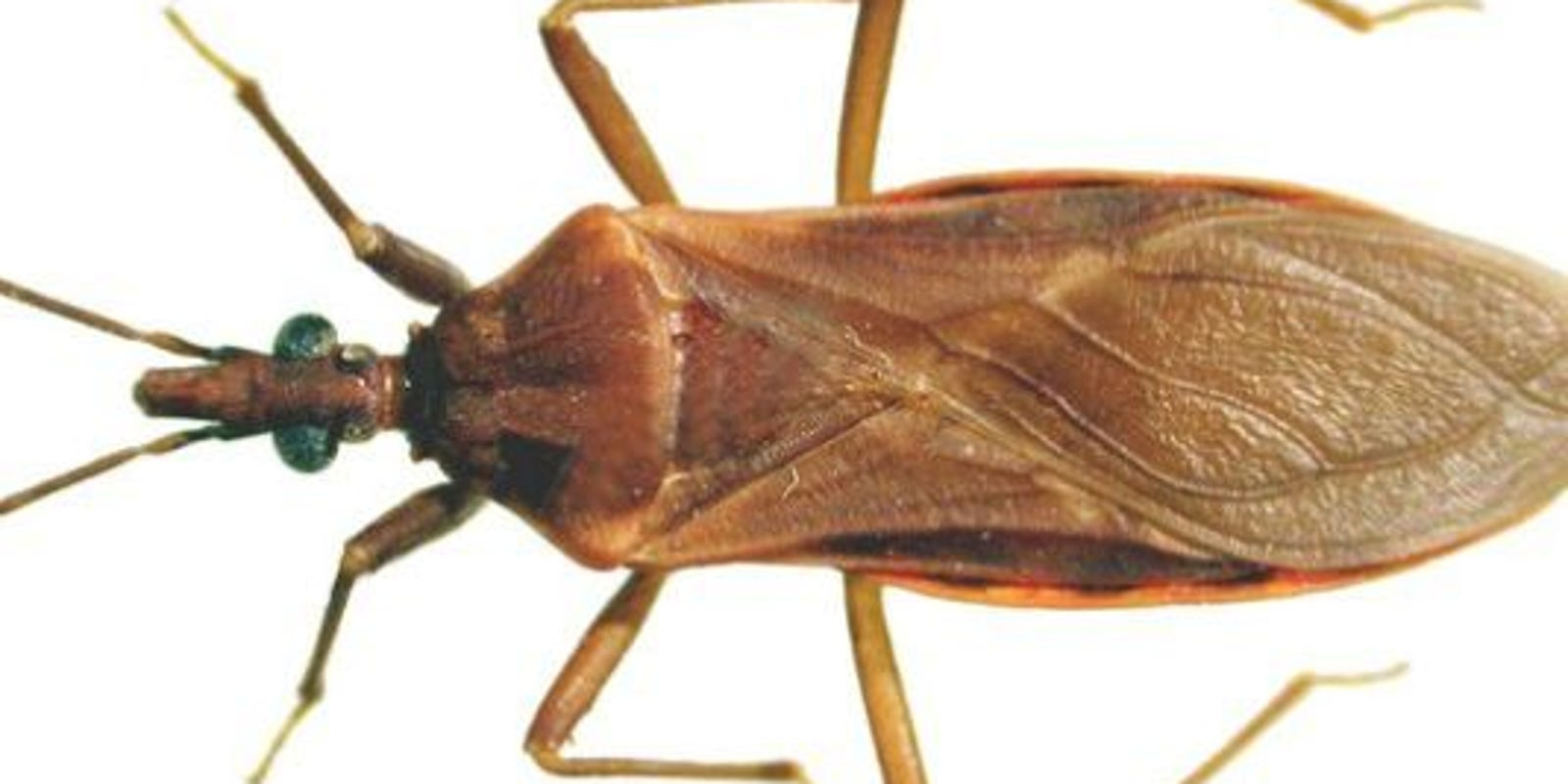 cdc 39 kissing bug 39 reported in florida. Black Bedroom Furniture Sets. Home Design Ideas