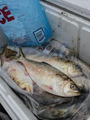 A cooler full of fresh Menhaden is among the best bait