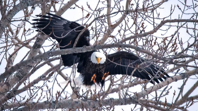 Ronald M Grogan shoots photos of bald eagles in the Blue Water Area.