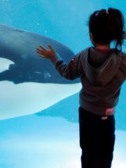A young girl watches through the glass as a killer whale passes by while swimming in a display tank at SeaWorld, in San Diego.