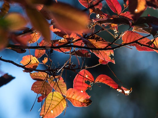 Leaves turn shades of crimson and gold before departing