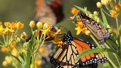 Monarch butterflies are in danger. Planting this 'weed' could save them.