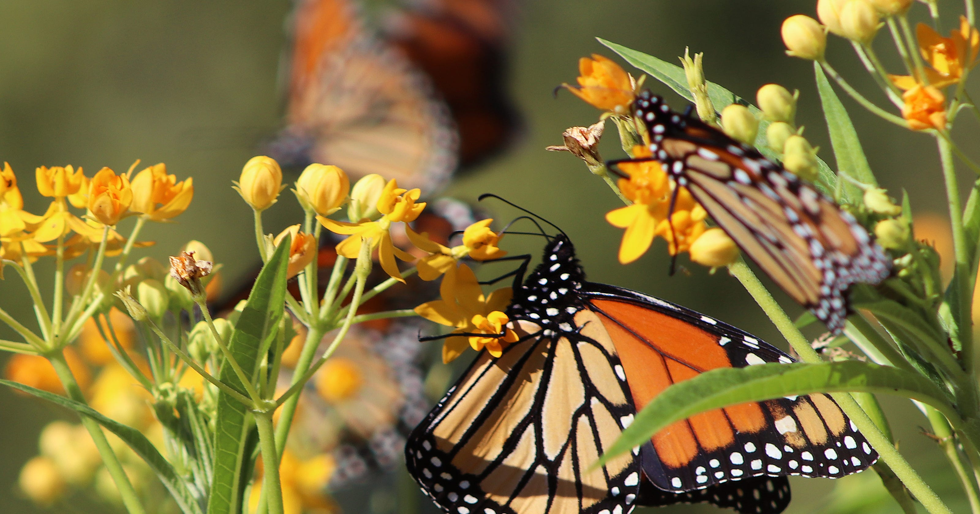 Monarch butterflies are in danger, but milkweed could save them