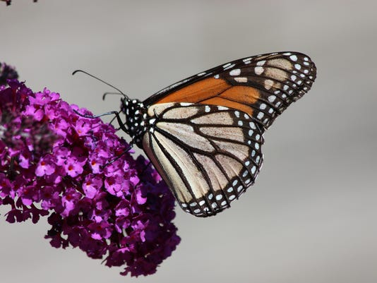 635867523431851146-122615monarch-butterfly.jpg