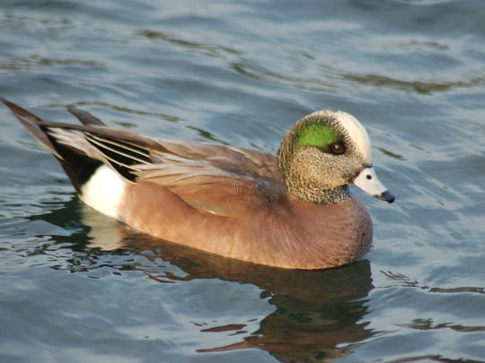 An American Widgeon lives here on clean water lakes of the Poconos.