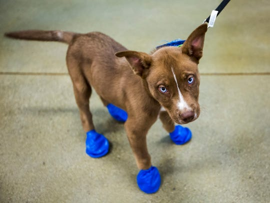 Arrow sports his new elastic booties at a PetSmart