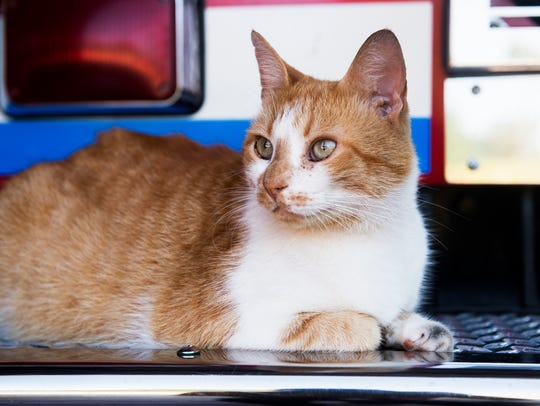 Flame, the arson cat, sits on a fire engine at the