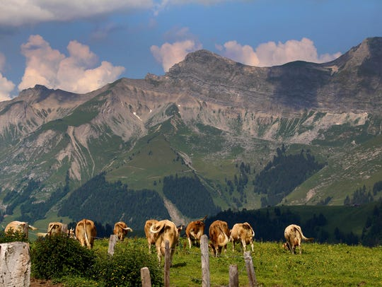 Contented cows feast on fresh grass throughout the