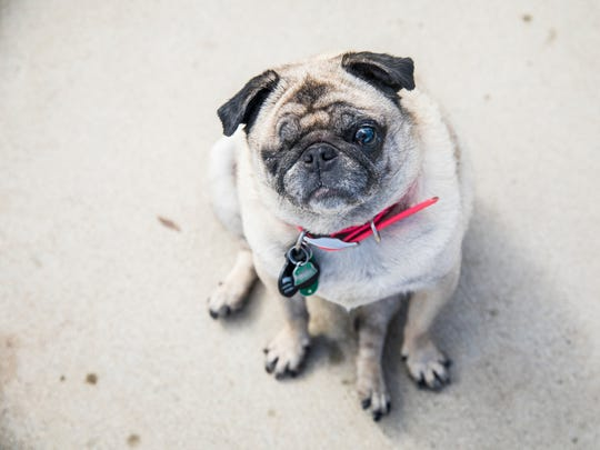 Pugs, like Bell E. Button, require coats or sweaters to stay warm through the winter.