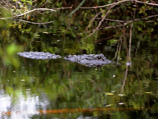 An alligator floats along the trail. The Fakahatchee