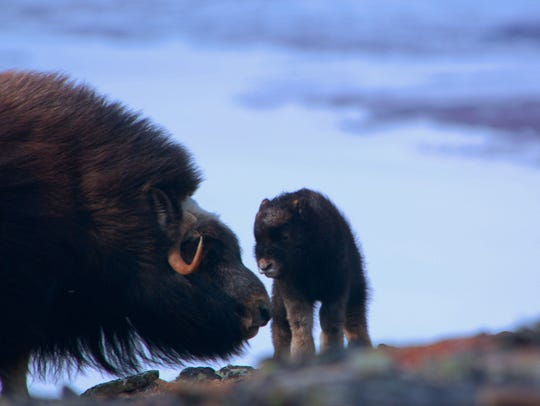 A baby musk oxen stands with its mother, a photograph