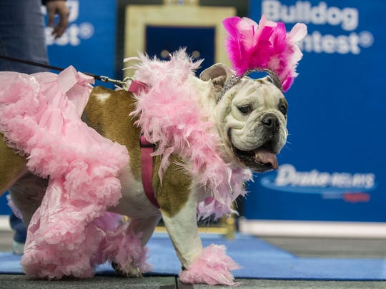 Ophelia Faye, a bulldog from Tama, wears a pink tutu and boa while competing in the 2018 Beautiful Bulldog Contest on Sunday, April 22, 2018, at the Knapp Center on the Drake University campus.