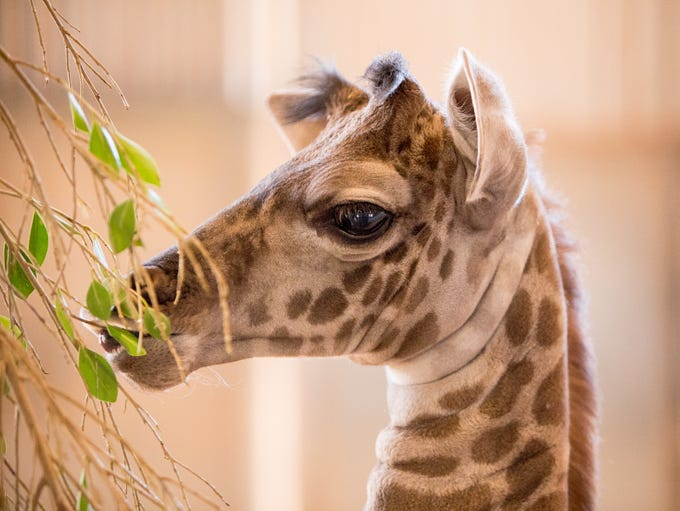 A baby Masai giraffe, the daughter of Phoenix Zoo giraffes