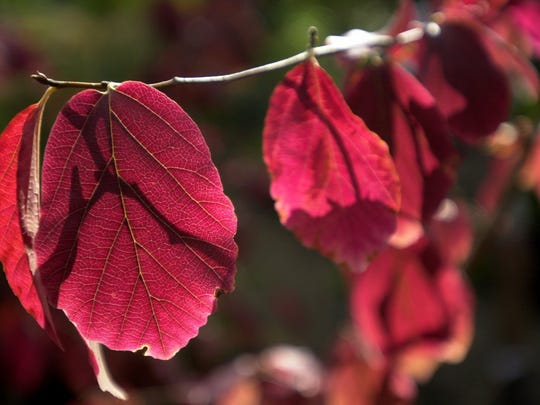 Persian Ironwood turns deep red in fall.