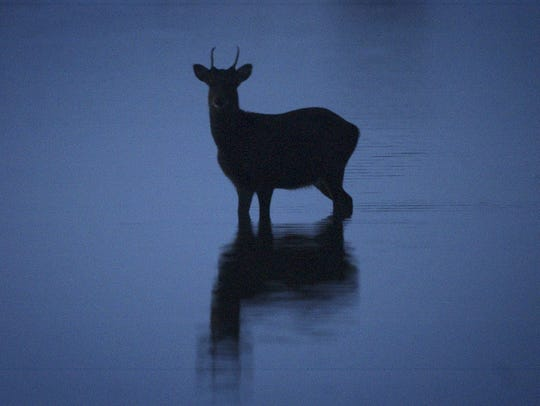 A sika deer makes its way across the water on the bayside