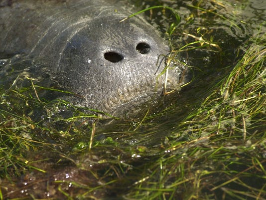 manatee and seagrass