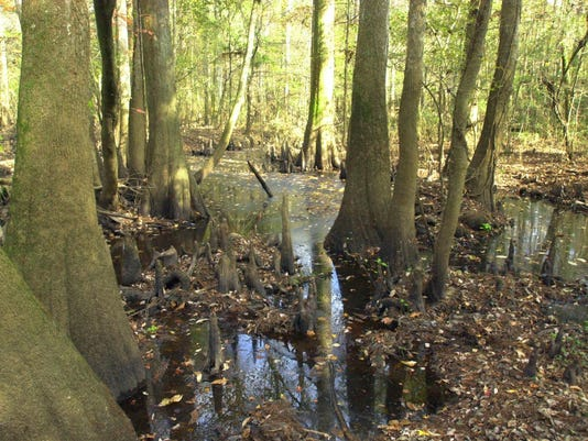 BALDCYPRESS AND SWAMP