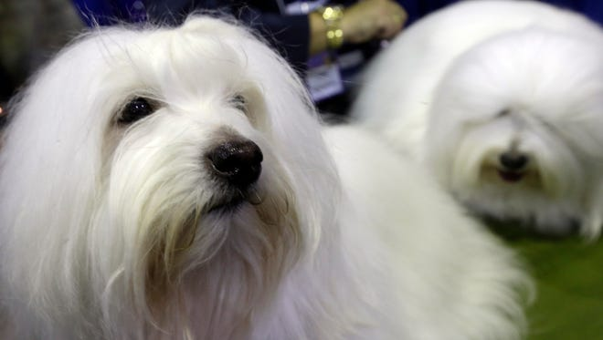Channel, left, and Burberry, Coton de Tulears participate in the American Kennel Club Meet the Breed event on Feb. 14 in New York.
