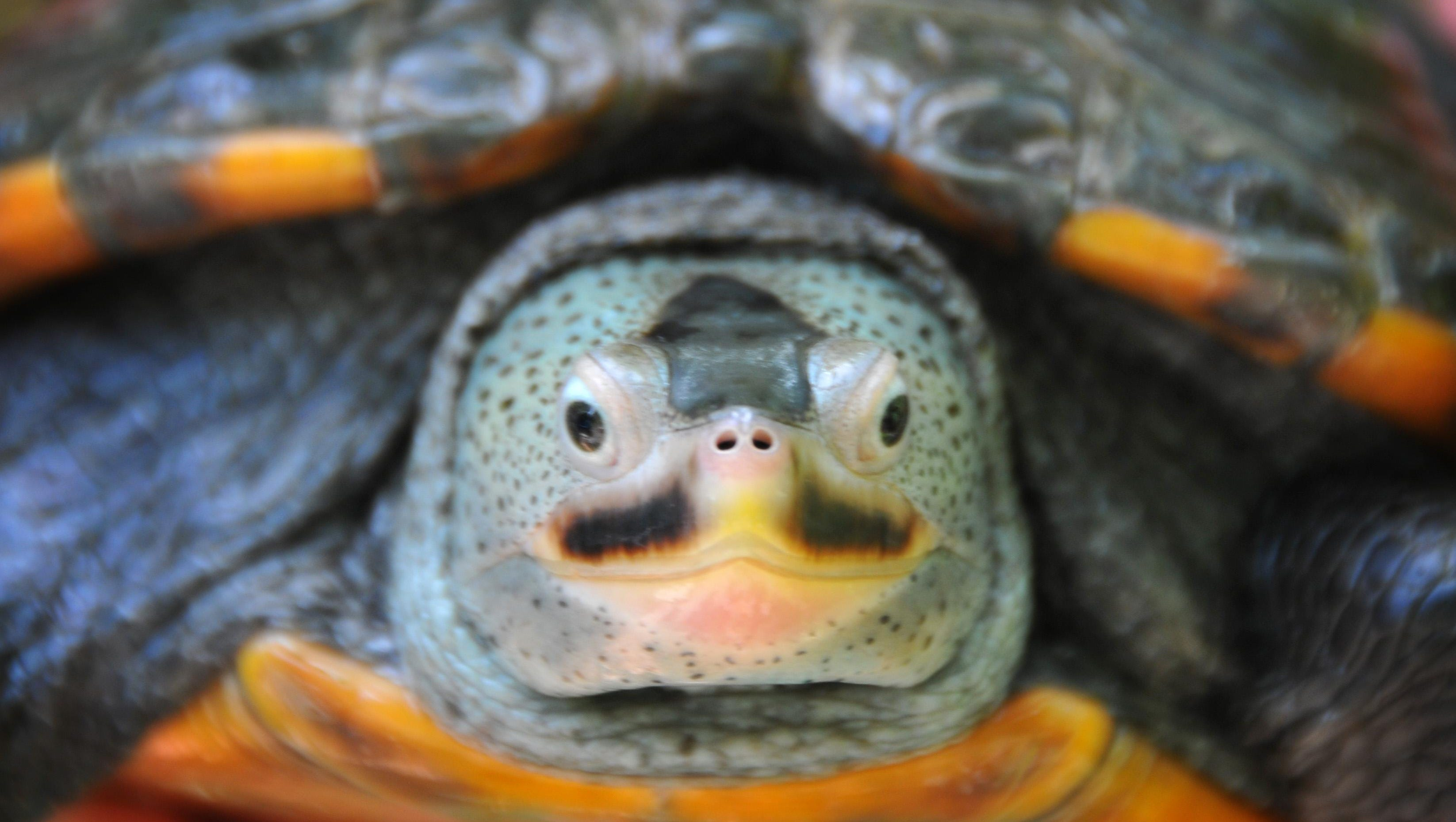 The Brevard Zoo is collaborating with Florida Tech in research on the Florida East Coast Diamondback Terrapin, a turtle acclimated to the Indian River Lagoon. This adult female named Tortuga seems to be sporting a mustache.