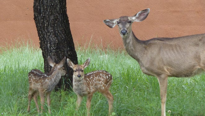 A mother mule deer and two fawns take refuge under a tree during a spring rain.