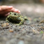 Michigan officials are seeking volunteers to help with the state's annual frog and toad survey, which is entering its 20th year.