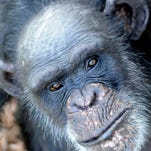This file photo is of a chimpanzee living at Chimp Haven in Keithville.
