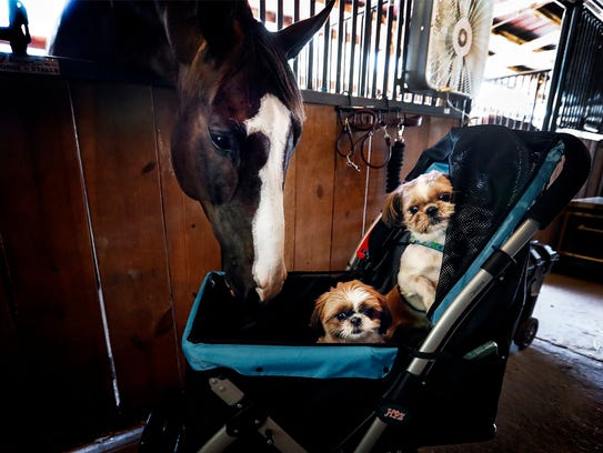 New Dream, a 9 year-old hunter horse, checks out shih