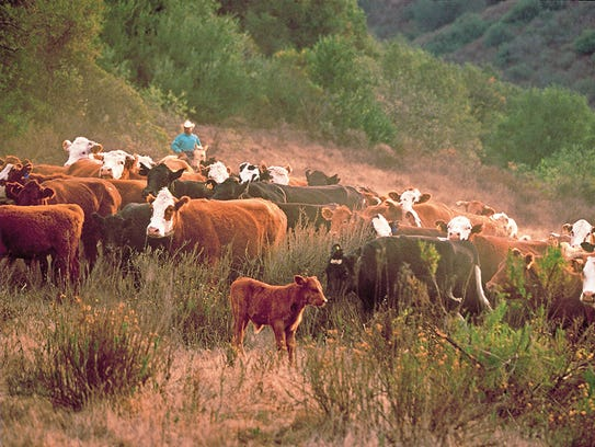 Cattle roam on ranchland at Rancho Mission Viejo in