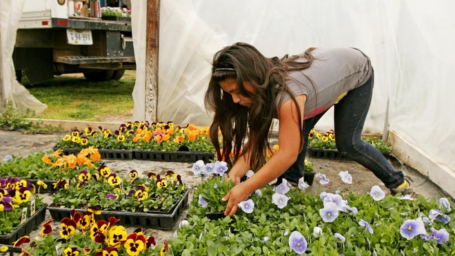 Nayeli Calixto, 9, helps load brightly colored pansies onto trucks on Friday, April 1, 2016 at Singing Earth Produce in Waynesboro, a family run farm that grows flowers and plants to be sold the next day at farmers' markets up and down the Valley.