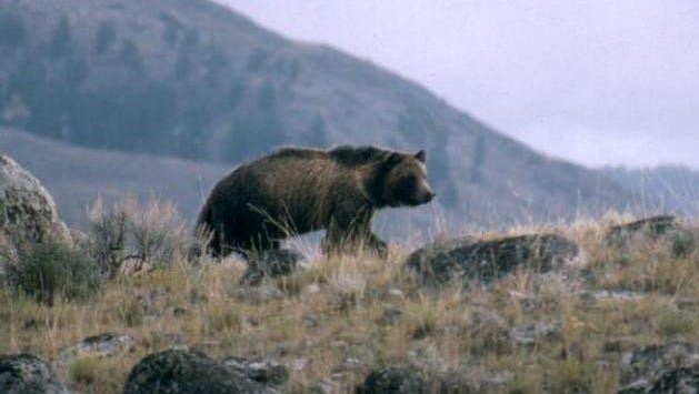 A grizzly bear walking along a ridge in Montana.