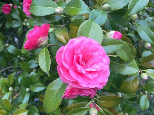 Camellia plants need pruning in the spring to produce quality flowers.
