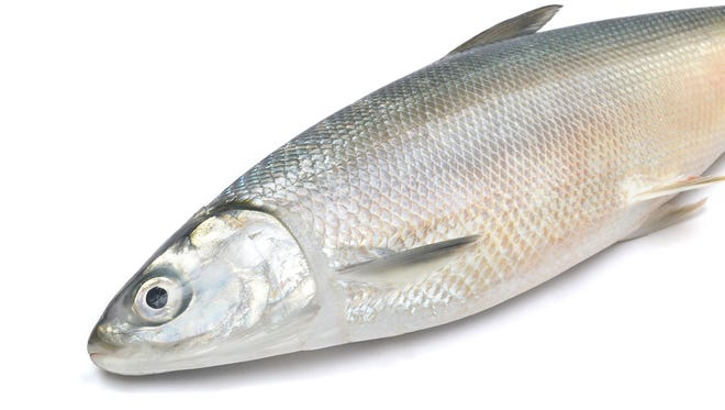 Mullet are a bluish-gray color or green on top with shades of silver on the sides with horizontal black barrings.