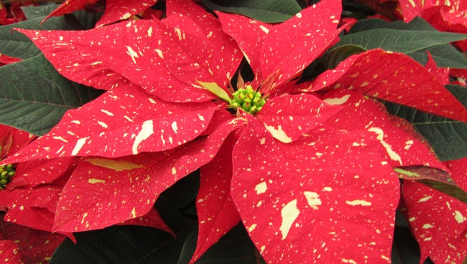 A red spotted poinsettia is pictured here. It is possible to propagate poinsettias by stem cuttings. However, if a plant patent protects the plant, it is not legal.