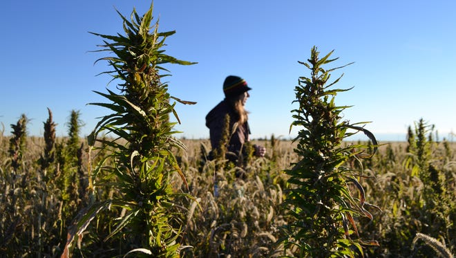 In this Oct. 5, 2013 photo, a volunteer walks through a hemp field at a farm in Springfield, Colo. during the first known harvest of industrial hemp in the U.S. since the 1950s.