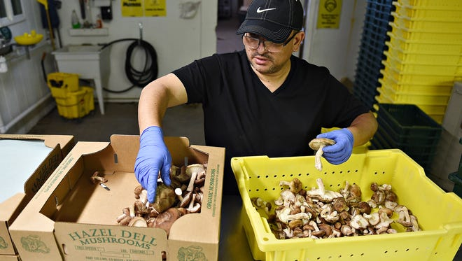 William Jarquin weighs and packages shiitake mushrooms at Hazel Dell Mushrooms on Tuesday, October 11, 2016.