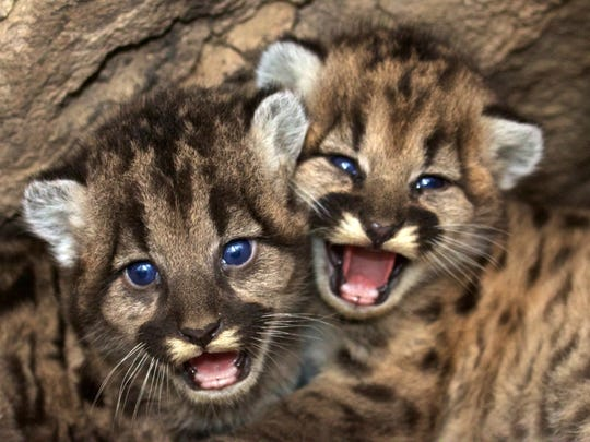 This December 22, 2015 photo shows kitten siblings P-46 and P-47 at their den in the western Santa Monica Mountains.