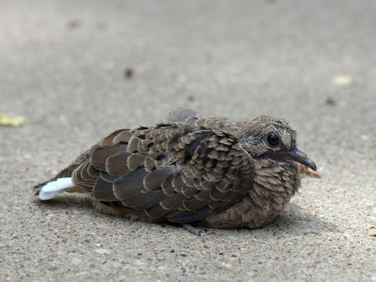 A fledgling mourning dove rests on sun-warmed cement after leaving its nest a bit early.