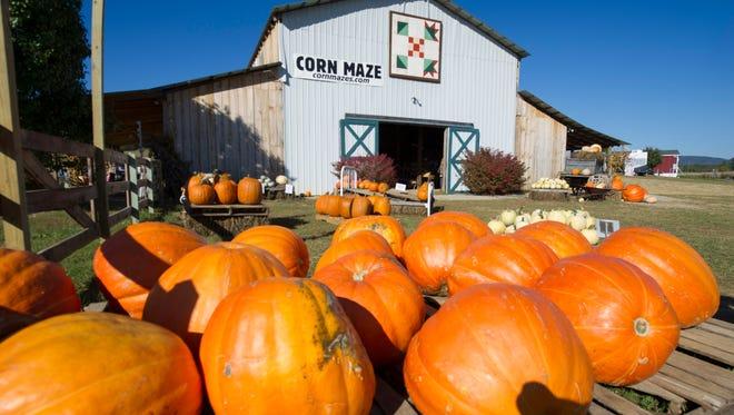 Giant pumpkins sit for sale at Oakes Farm Corn Maze & Pumpkin Patch in Corryton on Thursday, Oct. 23, 2014. (ADAM LAU/NEWS SENTINEL)