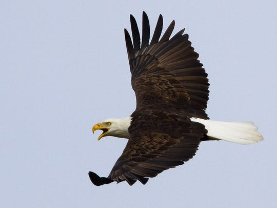 Eagle Days will be Jan. 20-21 at the Springfield Conservation