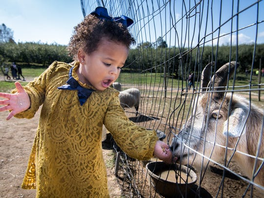 Zuri Jackson, 2, of Asheville feeds a goat at Sky Top Orchard in Flat Rock Saturday, October 14, 2017.