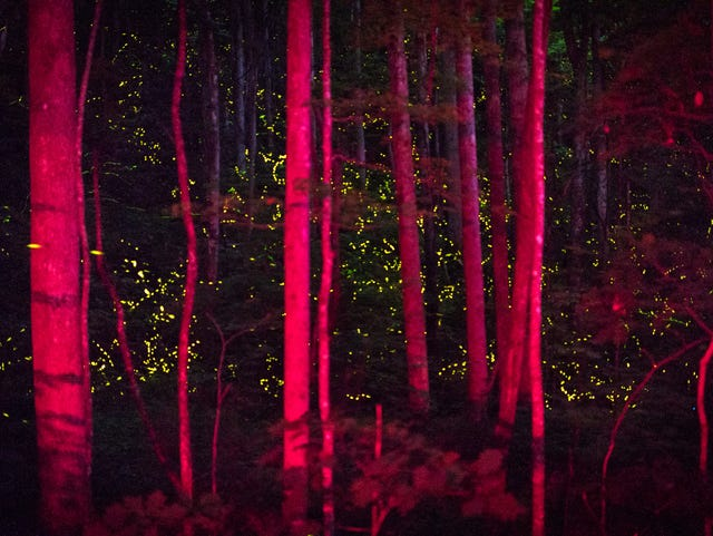 Great Smoky Mountains synchronous firefly viewing dates