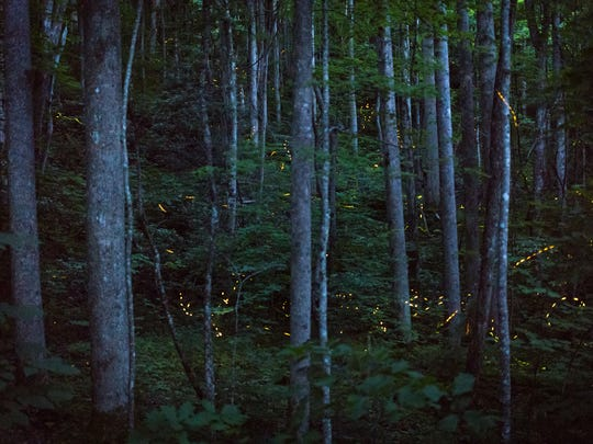 Synchronous fireflies fill the forest at the Elkmont