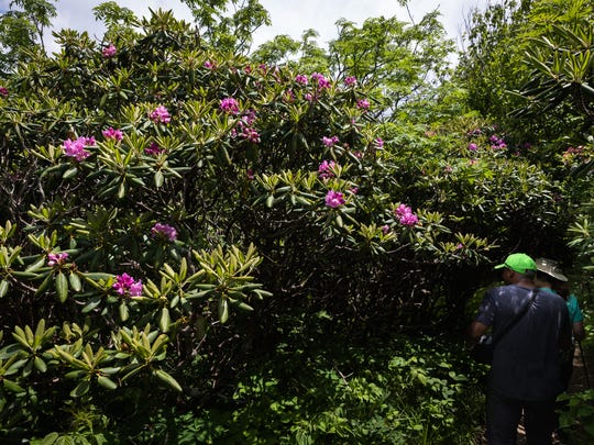 Rhododendrons blossom along the Craggy Gardens trail as hikers ascend to the summit Friday, June 15, 2018.