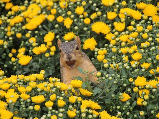 """Squirrel in the Hardy Mums,"" by Corey Seeman of Saline,"