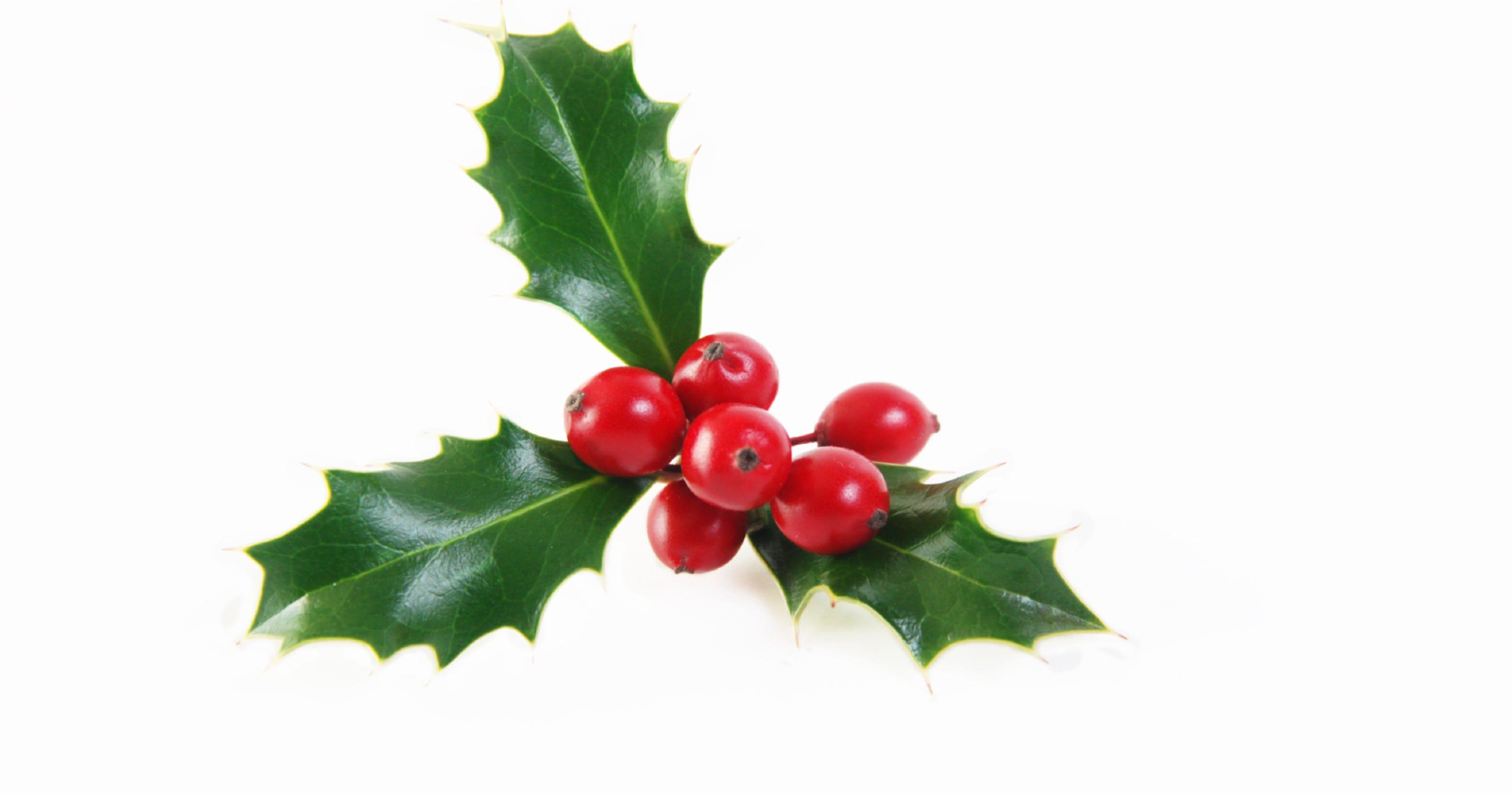 Mistletoe A Holiday Tradition