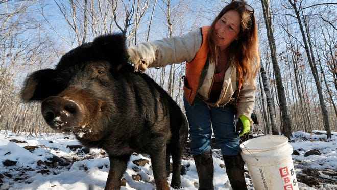 In this Thursday, Dec. 8, 2016, photo Susan Frank pets one of her mulefoot pigs at Dogpatch Farm in Washington, Maine. The American mulefoot hog was once the rarest of all U.S. livestock breeds, and they're still listed as critically rare by the Livestock Conservancy. Frank accounts for about a dozen of the pigs.