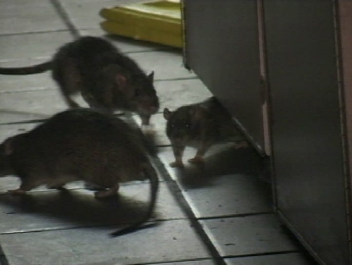 Rats are popping up in more homes across the Willamette