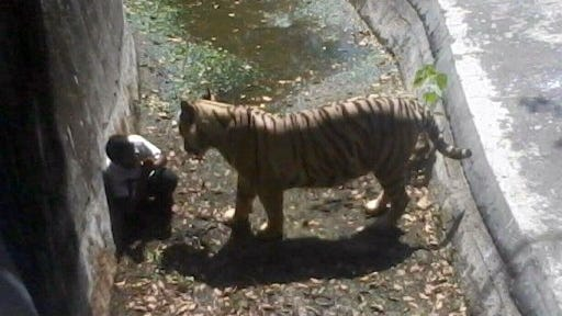 In this photograph received from the Delhi Police, a young Indian man is confronted by a white tiger inside its enclosure at the Delhi Zoo in New Delhi on Tuesday, Sept. 23, 2014. The tiger later killed the young man.