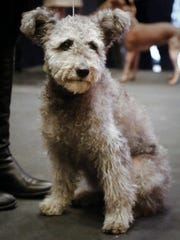 Zsa Zsa, a Pumi breed owned by Nancy Nelson from Norwalk,
